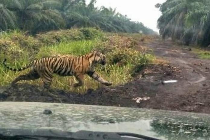 81 Gambar Ragam Hias Fauna Harimau Terbaik