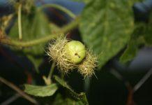 buah kemot