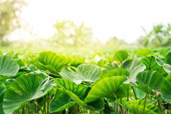 cara budidaya talas di lahan pertanian