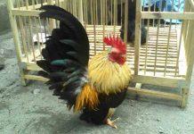 cara ternak ayam kate