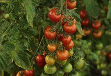 dasar-dasar menumbuhkan sayuran