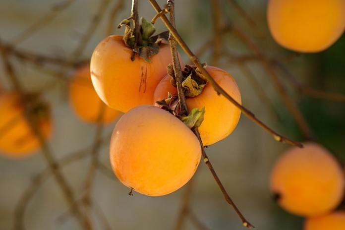 kenapa buah kesemek diselimuti bedak