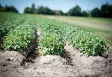 lahan pertanian di Bantul