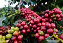 rehabilitasi tanaman kopi tua