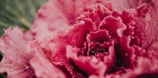 lettuce pink