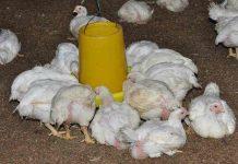 obat mencret alami untuk ayam broiler