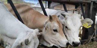 Pakan alternatif untuk sapi