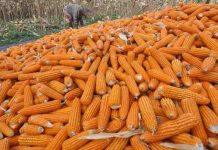 jagung produksi Sumbawa