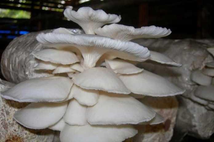 usaha jamur