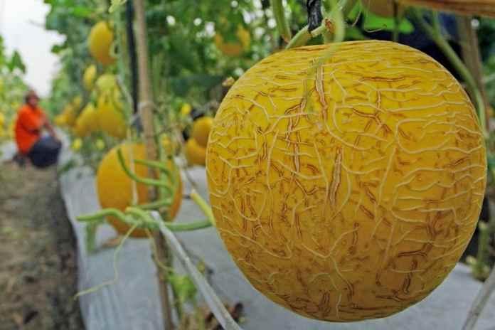 wabah listeria buah melon