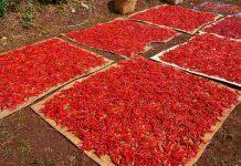petani cabai Banyuwangi