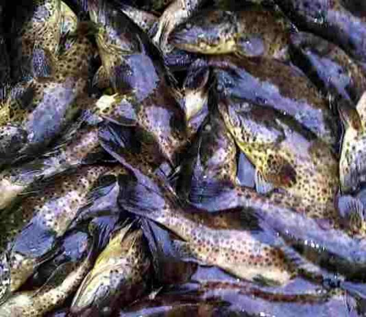 Populasi ikan kerapu
