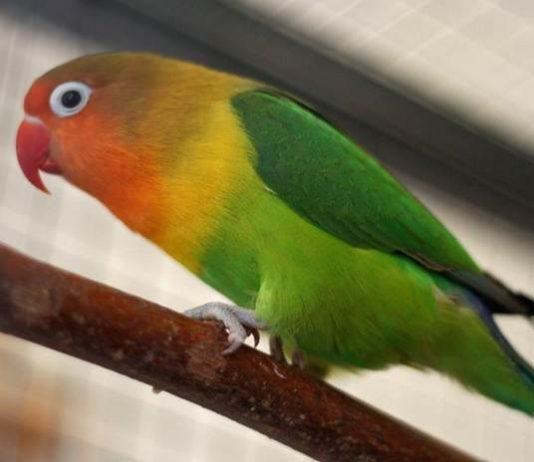 Ragam warna bagian tubuh lovebird