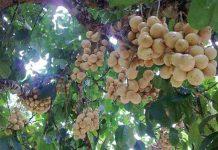 tanaman buah duku
