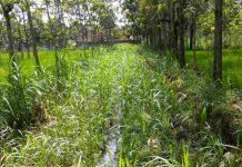 Tanaman tumpangsari padi gogo