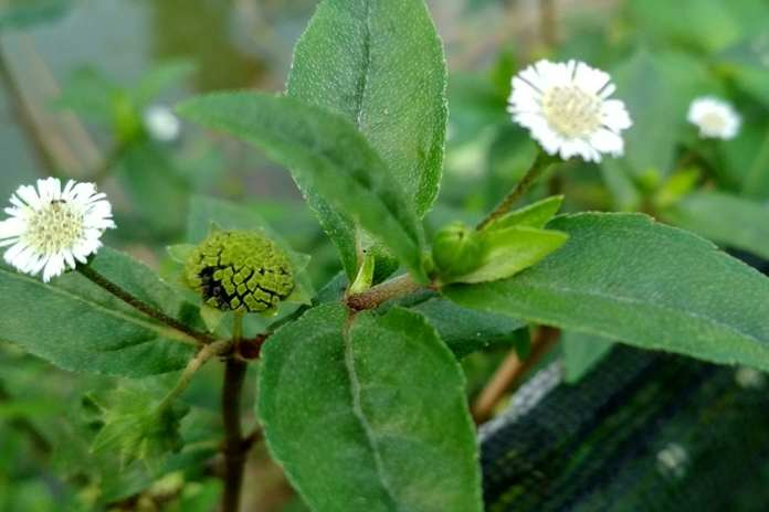 obat penumbuh rambut alami dengan urang aring