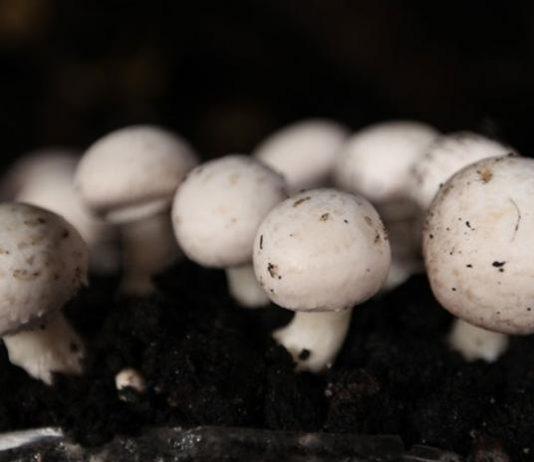 budidaya jamur kancing skala rumah tangga