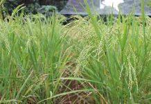 teknik menanam padi gogo