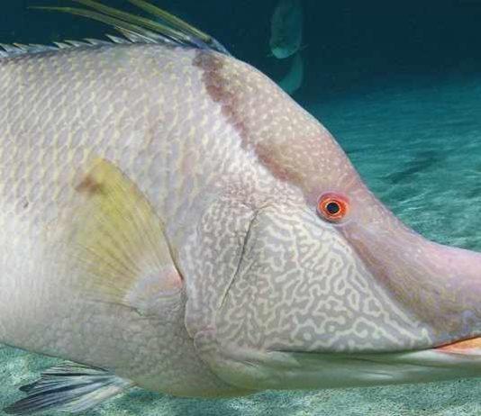 ikan atlantik