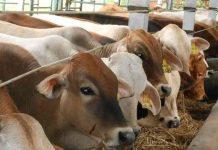 penyakit paling berbahaya pada sapi