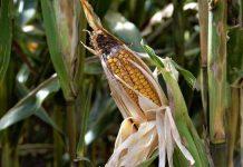 jenis hama tanaman jagung