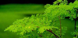 mengenal moringa