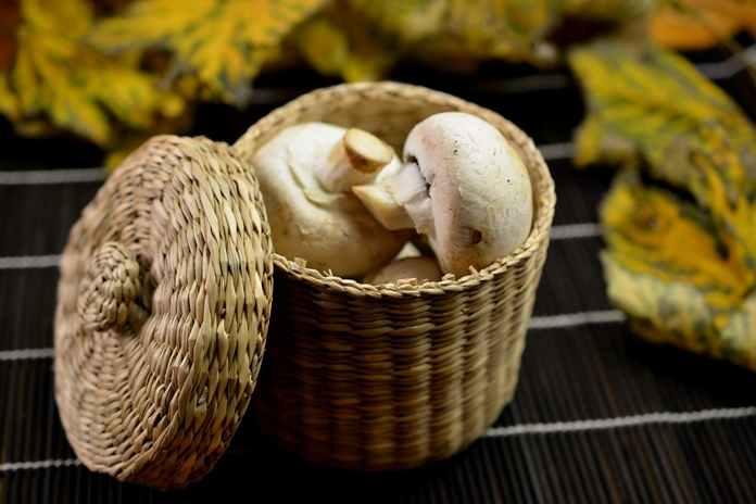 Bibit jamur champignon