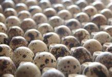 prospek bisnis telur puyuh