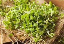 sejarah penggunaan microgreens