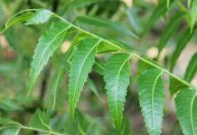 tanaman mimba