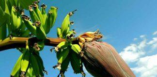tandan pisang