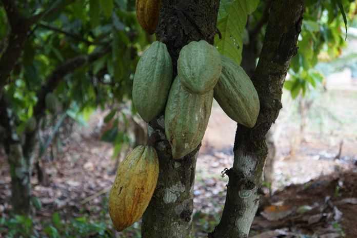 merawat kakao