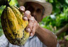 hama dan penyakit tanaman kakao