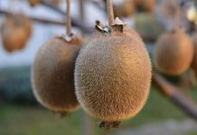 cara budidaya buah kiwi