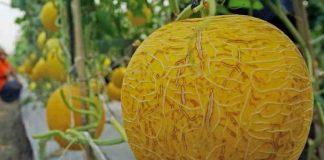 manfaat konsumsi melon kuning