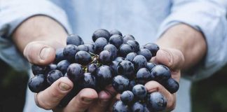 memilih bibit anggur