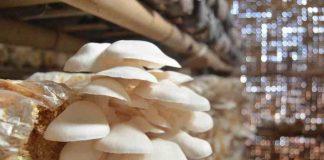 kendala dan risiko budidaya jamur