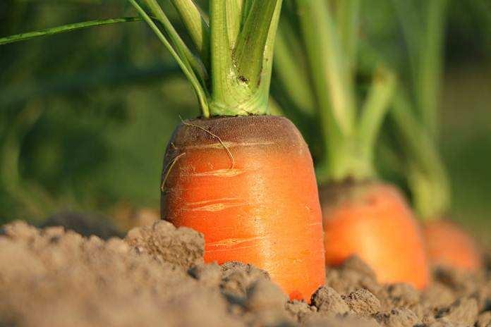 Menanam wortel dalam polibag