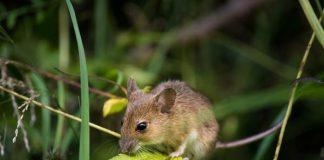 basmi hama tikus