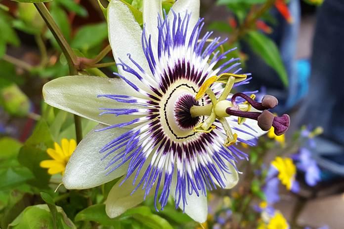 bunga passiflora