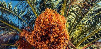 menanam kurma di Indonesia