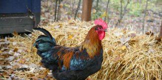 mengatasi ayam ngorok