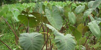 cara mengendalikan hama tanaman talas