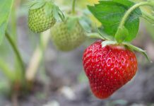 Cara Merangsang Tanaman Stroberi
