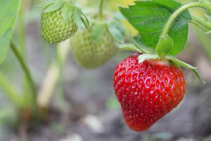 Cara Merangsang Tanaman Stroberi Agar Berbuah Lebat Artikel Pertanian Terbaru Berita Pertanian Terbaru