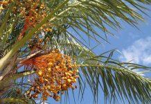 cara merawat pohon kurma