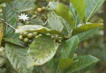 hama dan penyakit tanaman kopi