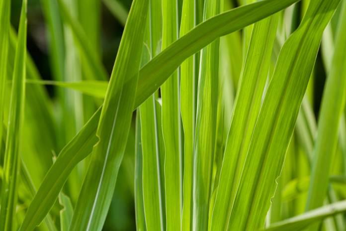 jenis rumput terbaik untuk pakan ternak
