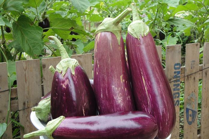 jenis sayuran musim kemarau