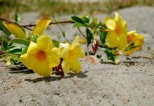 jenis tanaman hias cantik